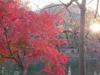 2014.11.28まで井の頭公園紅葉 071 (1024x769).jpg